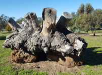 Mallee stump